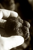 Hand holding black truffle (b/w photo)