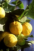 Lemons on tree (Menton, France)