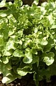 Eichblattsalat auf dem Feld