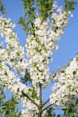 Flowering apple tree (close-up)