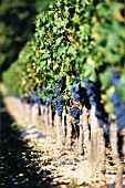 Merlot grapes on the vine, Pomerol, France