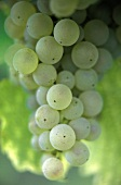 Chenin-blanc grape, Bergerac, Bordeaux