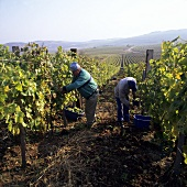 Grape picking in Tokaj, Hungary