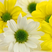 White and yellow chrysanthemums