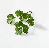 Leaf coriander