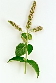Apple mint, flower stalk (Mentha rotundifolia)