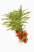 Common yew (branch with fruits (Taxus baccata)