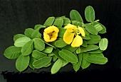 Sennablätter und Blüten (Cassia Senna)
