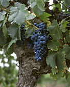 Shiraz Grapes in Australia