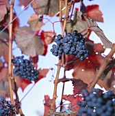 Cabernet grapes in an autumnal vineyard, Meran, South Tyrol