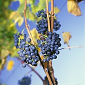 Red wine grapes (Vernatsch variety), common in S. Tyrol