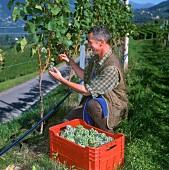 Vintage in the vineyards at Labers, Meran, S. Tyrol