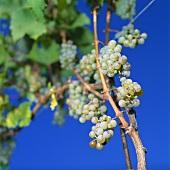 Riesling grapes in vineyard, Meran, S. Tyrol