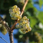 Riesling on the vine in Meran, S. Tyrol, Italy