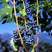 Vernatsch red wine grapes on the vine, Meran