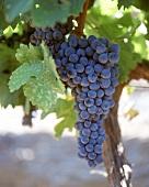 Cabernet Sauvignon-Weintrauben , Western Cape, Südafrika