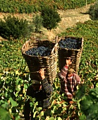 Grapes in traditional baskets, Douro Valley, Portugal