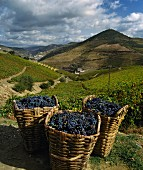 Traditional wicker baskets full of grapes, Douro