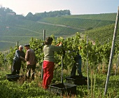 Grape picking in vineyards, Staufenberg Castle, Ortenau, Baden