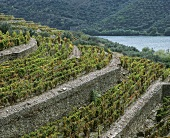Tiered vineyard, Taylors Fladgate & Yeatman, Douro, Portugal