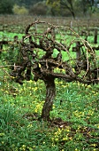 Hundred year old Syrah vine, McLaren Vale, Australia