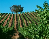 Vineyard in Alexander Valley, Sonoma, California, USA