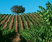 Weinberg im Alexander Valley, Sonoma, Kalifornien, USA