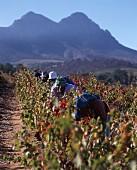 Worker picking grapes, Kanonkop, Stellenbosch, Africa