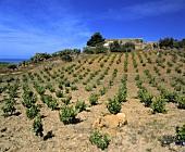 Weinberge in der Nähe von Sciacca, Agrigento, Sizilien