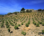 Vineyards near Sciacca, Agrigento, Sicily
