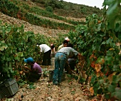 Harvest time in Taylors Fladgate & Yeatman vineyard, Portugal