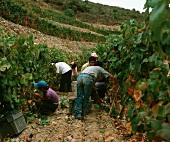Harvest time in Taylors Fladgate & Yeatman vineyard, Portugal