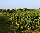 Vineyards at Cazedarnes, Herault, France