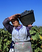 Harvest worker in vineyard, Chateauneuf du Pape, Rhone