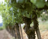 Unripe grapes on the vine, Rodney Strong, Sonoma