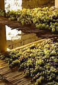 Muskat-Weintrauben trocknen auf Stohmatten, Piemont, Italien
