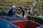 Harvest in Taylors Fladgate & Yeatman vineyard, Quinta da Roeda