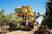 Maschinelle Weinlese im Weinberg von Padthaway, Südaustralien