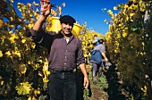 Harvest worker in Brand vineyard, Zind-Humbrecht, Alsace