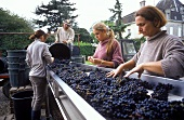 Harvest workers at the sorting table, Chateau L'Evangile