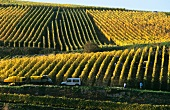 Late vintage in Zind-Humbrecht vineyard, Clos Jebsal, Alsace