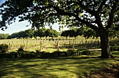 Strathlynn vineyards, Tasmania, Australia