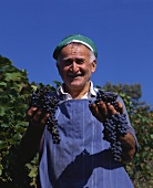 Grape-picker proudly showing freshly picked grapes, Abruzzi