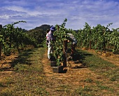 Grape-picking in vineyards of Rosemount Winery, Mudgee, NSW