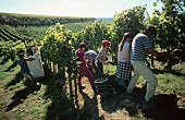 Grape harvest on the Hessische Weinstrasse, Germany