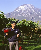 Grape-pickers in vineyard in Trentino, Italy