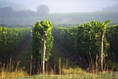 Individual rows of vines at Saumur-Champigny, Loire, France