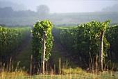 Einzelne Rebzeilen bei Saumur-Champigny, Loire, Frankreich