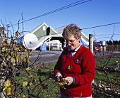 Pruning the vines, Te Karianga Wines, Martinborough