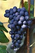 Nebbiolo grapes, Barolo, Piemonte, Italy